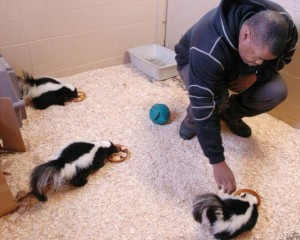 Skunks having a snack