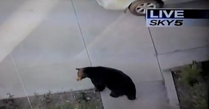 Bear loose in California