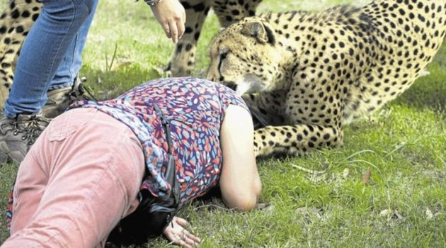 cheetah attack