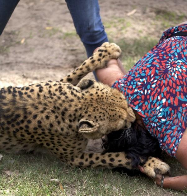 cheetah attack 5