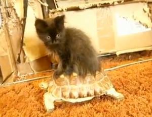 Kitten rides turtle