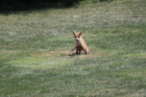 The fox in Cheryl's yard