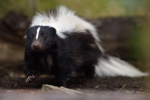 Skunk
