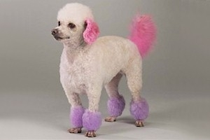 dyed doggie