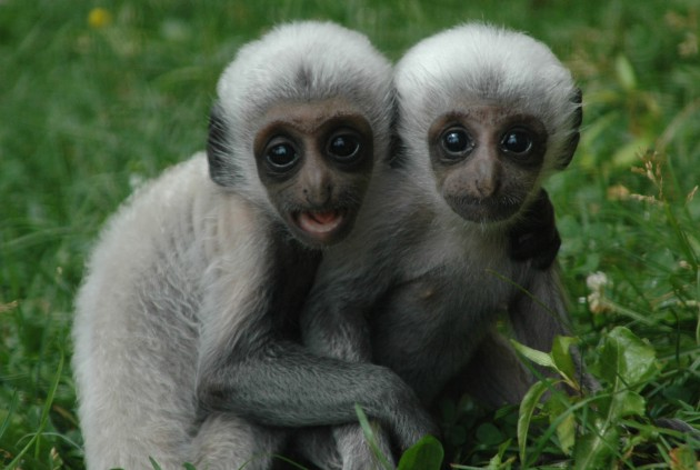 Angolan Colobus Babies at Lake Superior Zoo
