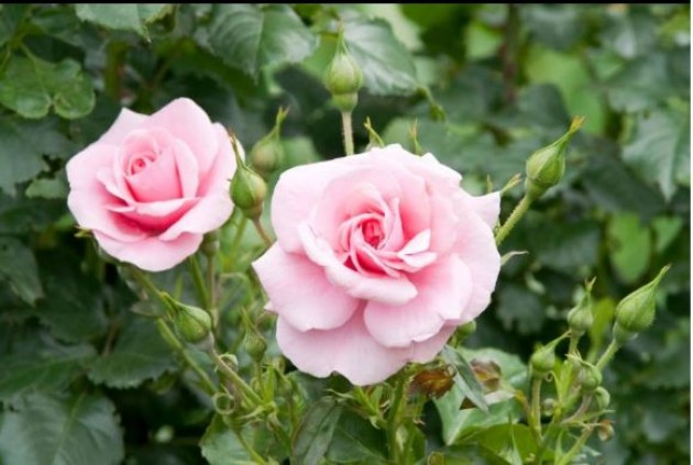 Rotary Rose Sale