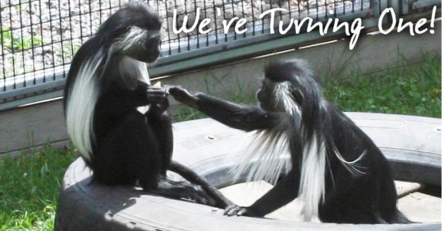 twin monkeys at Lake Superior Zoo