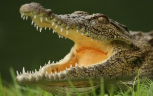 Beware!  Crocodiles will eat anything when they're hungry!