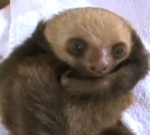 Sloth babies are rescued in Costa Rica!