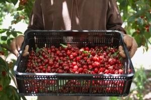 Man Holding Tray of Freshly Harvested Cherries