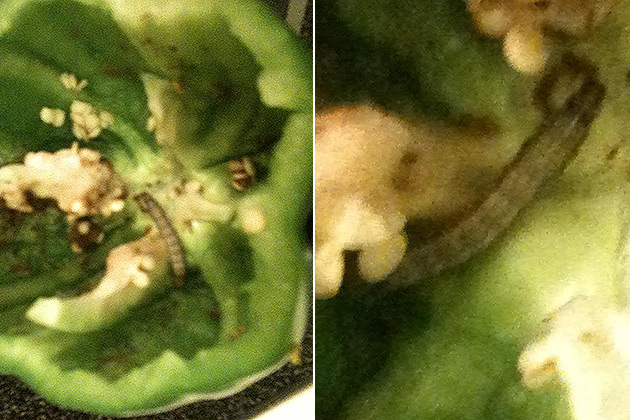 Worm Found Inside Green Pepper from Casper's Eastside Walmart