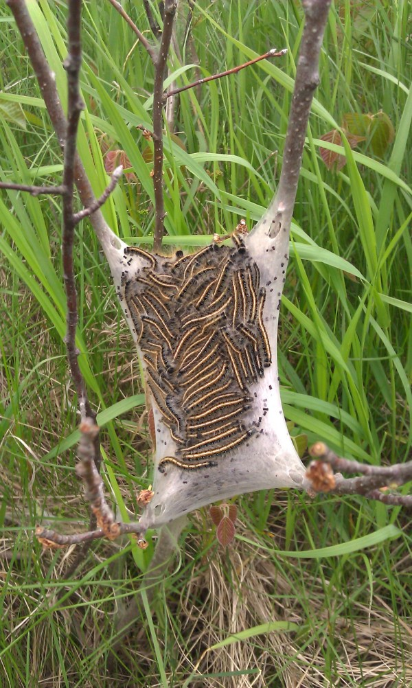 Armyworms Seen In The Northland Save Your Trees