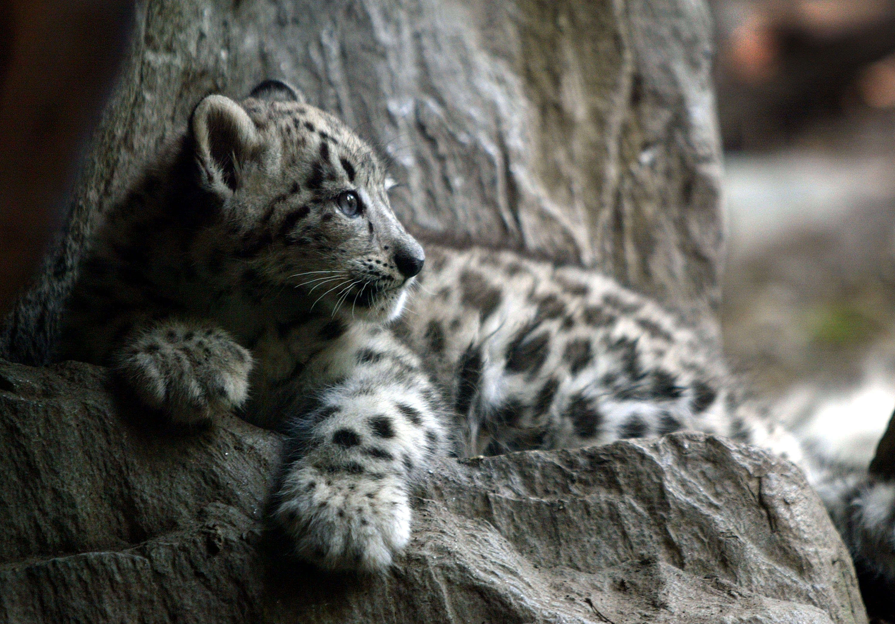 Baby Snow Leopards Sleeping Images & Pictures - Becuo